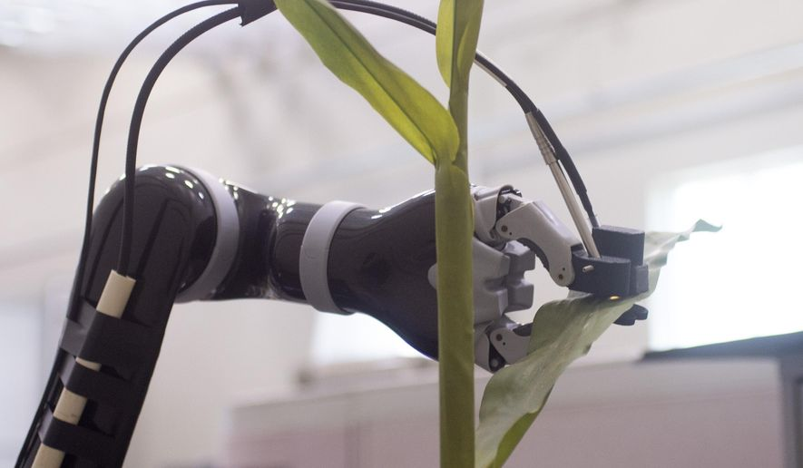 In this June 20, 2019 photo, a robot, created by a team at the University of Nebraska-Lincoln, is shown measuring physical characteristics of a corn plant at the Greenhouse at Innovation Campus. (Emily Haney/Lincoln Journal Star via AP)