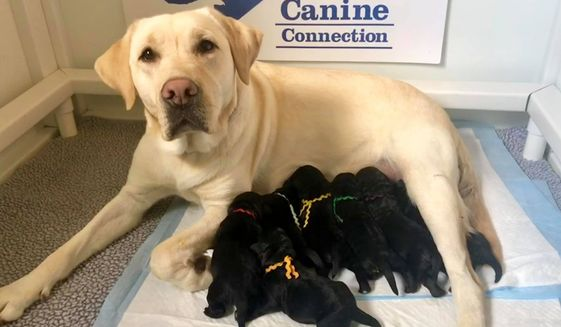 "A new litter of Labrador retriever puppies - destined to be trained as highly specialized service dogs by the nonprofit Warrior Canine Connection - will soon have a special designation of their own. The six new arrivals are to be named after American heroes who served on D-Day in ""Operation Overlord."""