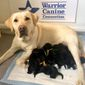 """A new litter of Labrador retriever puppies - destined to be trained as highly specialized service dogs by the nonprofit Warrior Canine Connection - will soon have a special designation of their own. The six new arrivals are to be named after American heroes who served on D-Day in """"Operation Overlord."""""""