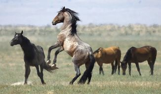 """In this July 18, 2018, file photo, a wild horse jumps among others on Bureau of Land Management land near Salt Lake City. The Trump administration says it can save taxpayers millions of dollars and trim a """"top heavy"""" office in Washington by moving the Bureau of Land Management headquarters to Colorado and dispersing scores of jobs across 11 Western states. Administration officials said Tuesday, July 16, 2019, that they hope to open the new headquarters in the town of Grand Junction and complete most of the job shifts by September 2020. (AP Photo/Rick Bowmer, File)"""