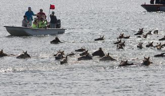 """Ponies swim across the Assateague Channel during the 94th annual Pony Swim in Chincoteague, Va., on Wednesday, July 24, 2019. The ponies traveled from Assateague Island to Chincoteague Island during """"slack tide,"""" when there's little current. (Sarah Holm/The Virginian-Pilot via AP)"""