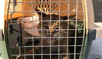 """In this Saturday, July 29, 2019 photo provided by the Stratham Police Department, a bobcat rests in an animal crate, in Stratham, N.H. Stratham Police officer Matt Callahan said he was on patrol and saw the """"kitten"""" run under a car. Callahan said that after realizing it was not a kitten, but instead a young bobcat, he called New Hampshire Fish and Game officers who captured the animal on the roof of a restaurant, put it into a crate, then released it at a wildlife refuge. (Matt Callahan/Stratham Police Department via AP)"""