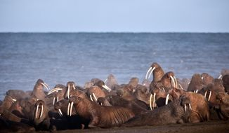 FILE - In this Sept., 2013, file photo provided by the United States Geological Survey (USGS), walruses gather to rest on the shores of the Chukchi Sea near the coastal village of Point Lay, Alaska. The U.S. Fish and Wildlife Service says several thousand Pacific walruses were spotted Tuesday, July 30, 2019, near Point Lay in their earliest appearance since sea ice has substantially receded.(Ryan Kingsbery/USGS via AP,File)