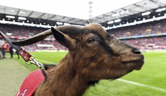 FILE-In this Dec. 13, 2017 file photo the mascot of German Bundesliga club Cologne, Hennes VIII., stands on the pitch prior to a match in Cologne, Germany. The goat called Hennes the Eighth, is retiring due to health reasons. The club says the 12-year-old Hennes suffers from age-related osteoarthritis and will see out his remaining days in the local zoo. The goat was an ever-present at Cologne games since 2008, taking in two relegations and two promotions. He is to be replaced by Hennes the Ninth, a 1-year-old goat of a traditional but endangered breed. (Foto: Federico Gambarini/dpa via AP)