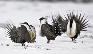 FILE - In this April 20, 2013 file photo, male greater sage grouse perform mating rituals for a female grouse, not pictured, on a lake outside Walden, Colo. The U.S. Forest Service said Friday, Aug. 2, 2019, that it wants to reduce designated habitat in Wyoming and Nevada for the ground-dwelling bird. More than 8,000 square miles of national forest land has been set aside as protected habitat for the birds in Colorado, Idaho, Nevada, Utah and Wyoming. (AP Photo/David Zalubowski, File)