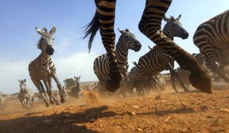 """This image released by Discovery shows a Zebra stampede from episode four of """"Serengeti,"""" a six-part series premiering Sunday, August 4. (Geoff Bell/Discovery via AP)"""