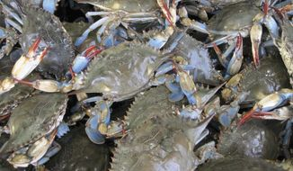 Maryland's famous blue crabs will benefit from climate change, predicts the University of Maryland Center for Environmental Science . (Photo courtesy of University of Maryland Center for Environmental Science)
