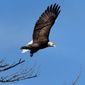 In this March 31, 2015, file photo, a bald eagle takes flight in Newcastle, Maine. Bald eagles are in the midst of record population growth in the northern New England states and could find themselves removed from all state endangered lists. (AP Photo/Robert F. Bukaty)