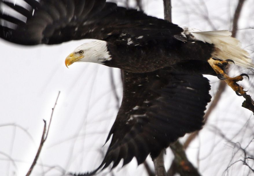 In this Feb. 1, 2016, file photo, a bald eagle takes flight at the Museum of the Shenandaoh Valley in Winchester, Va. (Scott Mason/The Winchester Star via AP, File)