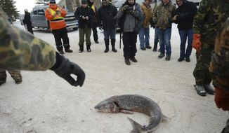 FILE - In this Feb. 4, 2017 file photo, people gather to look at a lake sturgeon, before it is weighed, near Black Lake in Cheboygan County, Mich. Federal regulators said Wednesday they will consider extending legal protections to lake sturgeon _ prehistoric fish once abundant in the Great Lakes but reduced to dangerously low numbers by overfishing, pollution and habitat destruction. (Julia Nagy/Lansing State Journal via AP, File)