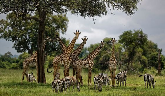FILE - In this Tuesday, March 20, 2018 file photo, giraffes and zebras congregate under the shade of a tree in the afternoon in Mikumi National Park, Tanzania. An international conference on endangered species has agreed Thursday, Aug. 22, 2019, to protect giraffes for the first time, drawing praise from conservationists and scowls from some sub-Saharan African nations. (AP Photo/Ben Curtis, File)