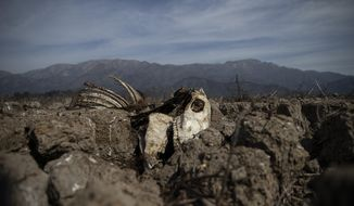 The carcass of a cow lies partially embedded in the drying lake bed of the Aculeo Lagoon, in Paine, Chile, Friday, Aug. 23, 2019. Despite having one of the largest fresh water reserves in the world Chilean authorities declared an agricultural emergency this week as rural areas in the province of Santiago suffer the effects of the worst drought that has hit the area in decades. (AP Photo/Esteban Felix)