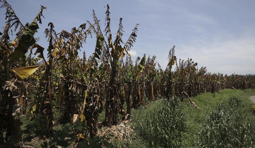 Banana plants deliberately killed in order to stop a fungus from spreading, by the Colombian Agricultural Institute (ICA), stands on a farm near Riohacha, Colombia, Thursday, Aug. 22, 2019. So far, the fungus has been detected on six farms in Colombia. All are located in La Guajira, a province near the border with Venezuela. (AP Photo/Fernando Vergara)