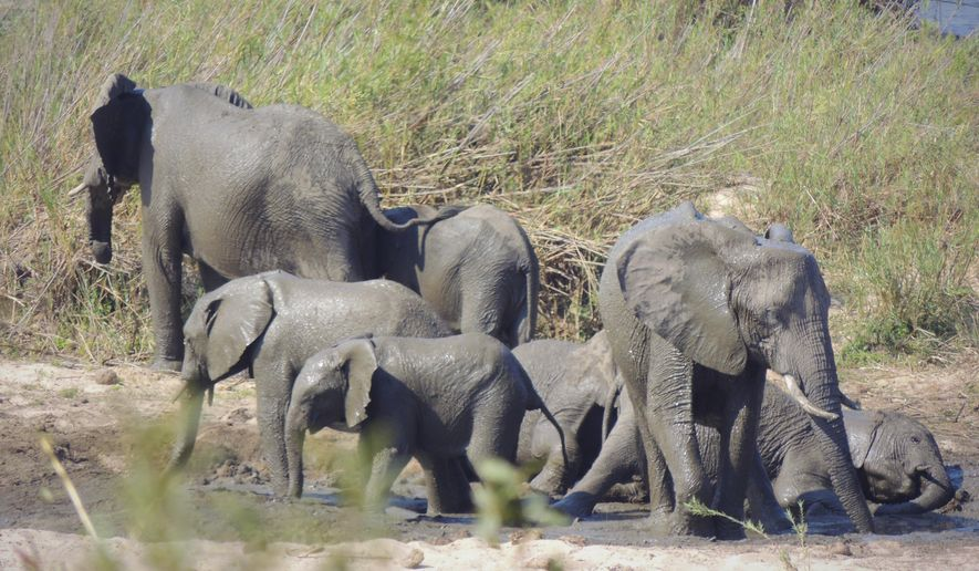 In this photo taken August 25, 2012 a herd of elephants in the Kruger National Park, South Africa.  A CITES (Convention on International Trade in Endangered Species) conference being held in Geneva, Switzerland, Tuesday Aug. 27, 2019, is expected to decide later Tuesday weather to allow the capture of wild African elephants for export beyond Africa, with U.S. and Europe campaigning against the practice and with nations like China, Zimbabwe, and Botswana pressing to allow the trade. (AP Photo/Kevin Andreson)