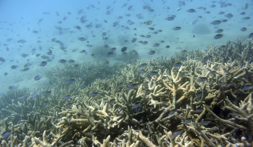 """In this Nov. 25, 2016, file photo, fish swim along the edges of a coral reef off Great Keppel Island in Australia. The government agency that manages Australia's Great Barrier Reef on Friday, Aug. 30, 2019, downgraded its outlook for the corals' condition from """"poor"""" to """"very poor"""" due to warming oceans. (Dan Peled/AAP Image via AP)"""