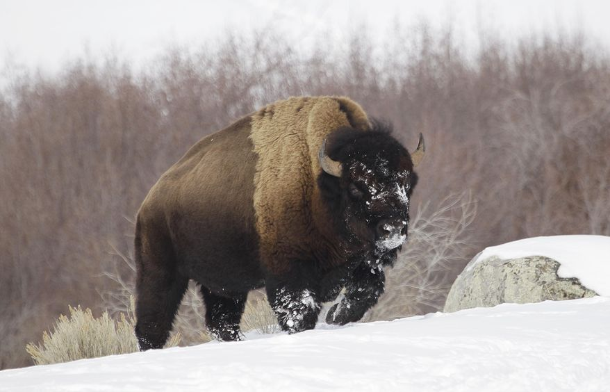 FILE - In this Feb. 12, 2011 file photo a bison from Yellowstone National Park walks through the snow shortly before being shot and killed during a hunt by members of an American Indian tribe, near Gardiner, Mont. U.S. officials have rejected a petition to protect the park's roughly 4,500 bison, which are routinely hunted and sent to slaughter to guard against the spread of disease to cattle. (AP Photo/Ted S. Warren, File)