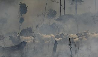 A herd of cattle stand in the midst of smoke from the fires at the Nova Fronteira region in Novo Progresso, Brazil, Tuesday, Sept. 3, 2019. Brazilian President Jair Bolsonaro sent the military to help extinguish some fires. Last week, he passed a decree banning most fires for land-clearing for a period of 60 days, although he later limited the ban to the Amazon. (AP Photo/Leo Correa)