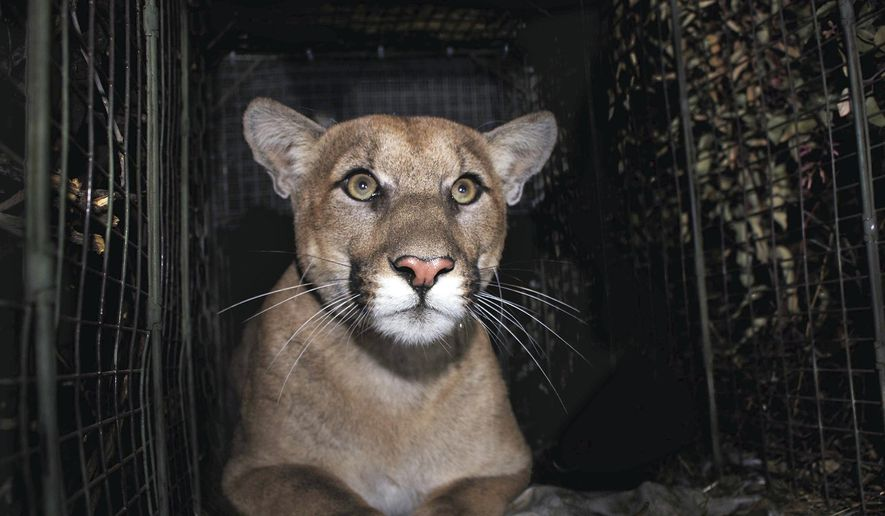 Mountain lion fatally struck trying to cross LA freeway
