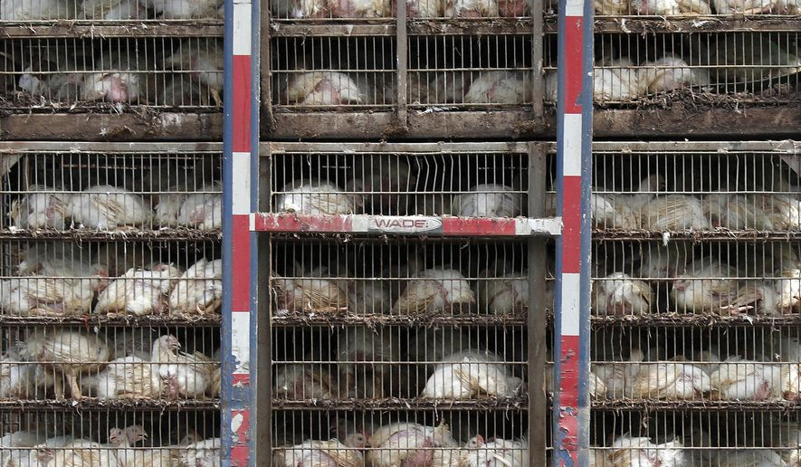 In this Thursday, Aug. 8, 2019, file photo, chickens are shipped for processing in Morton, Miss. The use of antimicrobial washes and sprays is widespread in the U.S. chicken industry, with companies applying them to kill germs at various stages in the production process. The practice highlights concerns that Britain could be pressured to accept looser food safety standards when negotiating post-Brexit trade deals. (AP Photo/Rogelio V. Solis)