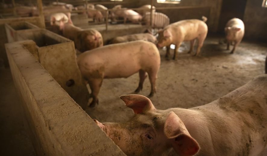 In this May 8, 2019, photo, pigs stand in a barn at a pig farm in Panggezhuang village in northern China's Hebei province. Chinese agriculture officials are launching a nationwide initiative to boost pork production following a price spike blamed on shortages caused by an outbreak of African swine fever. (AP Photo/Mark Schiefelbein)