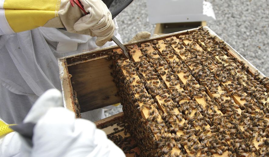 In this Aug. 7, 2019, file photo, U.S. Army veteran Wendi Zimmermann uses a tool to slide up a frame of bees to check them for disease and food supply at the Veterans Affairs' beehive in Manchester, N.H. Veterans in programs like the one at the Manchester VA Medical Center in New Hampshire insist that beekeeping helps them focus, relax and become more productive. (AP Photo/Elise Amendola)