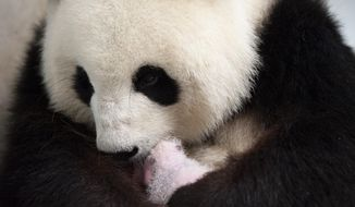 This photo provide by the Berlin Zoo on Friday, Sept. 13, 2019, female Panda Meng Meng holds one of her new panda twins at the Berlin Zoo. Female Panda Meng Meng gave birth to two panda babies in Berlin Zoo on Saturday evening Aug. 31, 2019. (Zoo Berlin/Zoologischer Garten Berlin via AP)