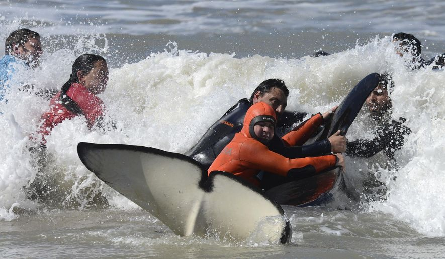 Rescuers and volunteers work to successfully return a killer whale to the sea near Mar Chiquita, Argentina, Monday, Sept. 16, 2019. Seven killer whales were stranded on the coast before rescuers and volunteers returned six of them to sea, but one died in the process. (AP Photo/Marina Devo)
