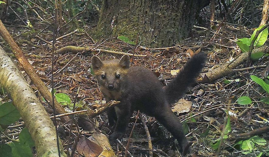FILE - This Oct. 8, 2015 remote camera file photo provided by the Center for Biological Diversity shows a rare coastal Pacific marten in the Oregon Dunes in the Siuslaw National Forest, Ore. The Oregon Fish and Wildlife Commission voted to ban the trapping of the extremely rare cat-like creature in coastal areas critical to its survival, a coalition of environmental groups announced on Monday, Sept. 16, 2019. The 4-3 vote taken late Friday, Sept. 13 would impose a trapping ban west of the Interstate 5 corridor to protect the fewer than 200 coastal Humboldt martens left in the state. (Mark Linnell/U.S. Forest Pacific Northwest Research Station and Oregon State University via AP, File)