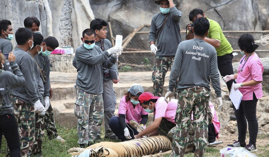 "FILE- In this Monday, May 30, 2016, file photo, wildlife officials begin removing some of the 147 tigers held at a ""Tiger Temple"" following accusations that the monks were involved in illegal breeding and trafficking of the animals in Saiyok district in Kanchanaburi province, west of Bangkok, Thailand. On Monday, Sept. 16, 2019, wildlife officials said more than half of the tigers rescued from the temple have died due to poor health from weakened genetic traits as a result of inbreeding. (AP Photo, File)"