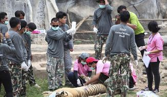 """FILE- In this Monday, May 30, 2016, file photo, wildlife officials begin removing some of the 147 tigers held at a """"Tiger Temple"""" following accusations that the monks were involved in illegal breeding and trafficking of the animals in Saiyok district in Kanchanaburi province, west of Bangkok, Thailand. On Monday, Sept. 16, 2019, wildlife officials said more than half of the tigers rescued from the temple have died due to poor health from weakened genetic traits as a result of inbreeding. (AP Photo, File)"""