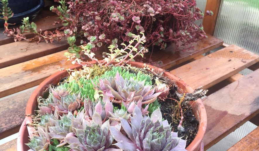 This July 3, 2016 photo shows succulents inside a greenhouse near Langley, Wash. Know the hardiness limits of your plants like these succulents. Succulents rated higher than Zone 5 can't survive 20 degree-below-zero-cold and need to be protected in winter. (Dean Fosdick via AP)