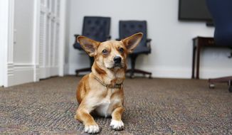 This photo taken Sept. 5, 2019, shows the new official Tampa city dog, Alcaldesa, who is a mixed-breed that Mayor Jane Castor adopted from the Humane Society of Tampa Bay. Castor got Alcaldesa, the Spanish term for a female mayor, from the Humane Society of Tampa Bay, where she has acquired all her rescue dogs. She already has three others. She called the humane society staff and asked them to look for a friendly dog for the office.  (Octavio Jones/Tampa Bay Times via AP)