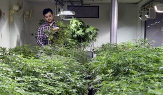 FILE – In this April 3, 2019, file photo, Oswaldo Barrientos picks dead leaves from marijuana plants at the grow facility where he works near downtown Denver. Colorado banking industry officials say as many as 35 banks and credit unions are quietly offering financial services to legal marijuana businesses in the state even as a bill that would make it easier to allow them to do business with the industry works its way through Congress. (AP Photo/Dave Zalubowski,File)