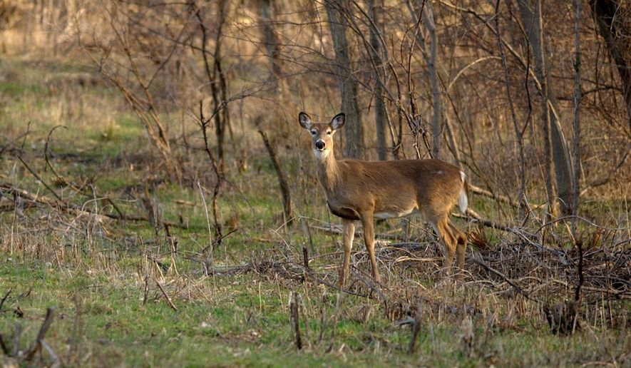 Chronic wasting disease has been found in free-ranging deer, elk and moose in 277 counties in at least 24 states, including Virginia and Maryland. (ASSOCIATED PRESS)