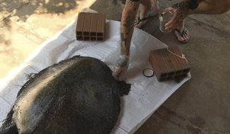 """In this Sept. 22, 2019 photo released by Instituto Verdeluz, a person of the Jericoacoara National Park examines a dead turtle covered with oil in Jijoca de Jericoacoara municipality, Ceara state, Brazil. Brazil's main environmental agency said Thursday it has detected 105 crude oil spills from an undetermined source polluting the waters of the country's northeast coast this month. """"So far there is no evidence of contamination of fish and crustaceans,"""" the institute said, though it said the spills had killed seven sea turtles. (Instituto Verdeluz via AP)"""
