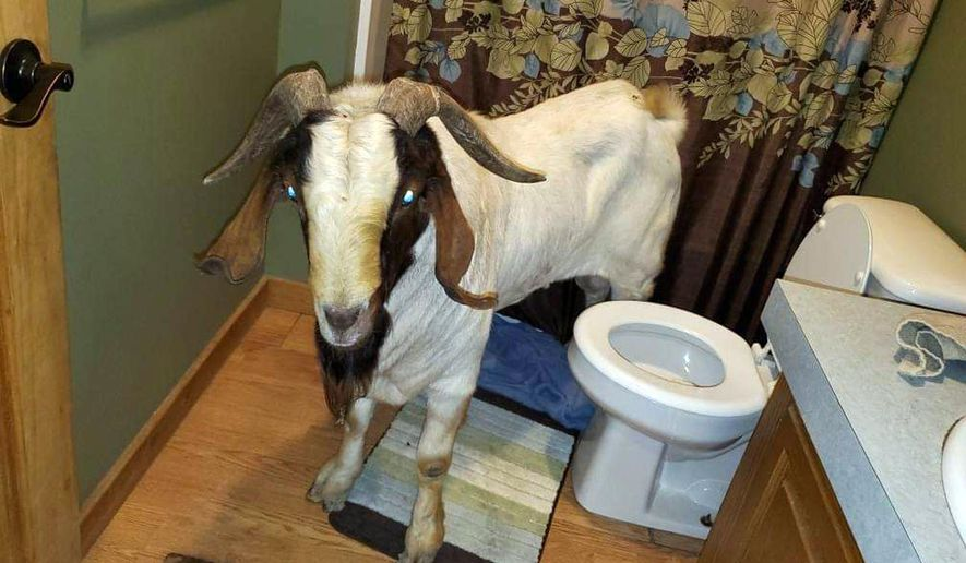 """In this Friday, Oct. 4, 2019 photo, a goat stands in the bathroom of a home in Sullivan Township, Ohio. The goat named """"Big Boy,"""" who had escaped from a farm several miles away,  was found napping in the bathroom after it broke into the home by ramming through a sliding glass door. (Jenn Keathley via AP)"""