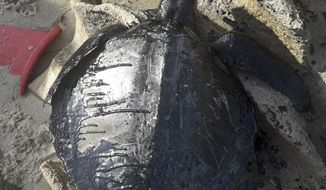 """This Sept. 1, 2019 handout photo released by Instituto Verdeluz, shows the carcass of a turtle covered in oil on Sabiaguaba beach, in Fortaleza, Ceara state, Brazil. Brazil's main environmental agency said Thursday it has detected 105 crude oil spills from an undetermined source polluting the waters of the country's northeast coast this month. """"So far there is no evidence of contamination of fish and crustaceans,"""" the institute said, though it said the spills had killed seven sea turtles. (Instituto Verdeluz via Instituto Verdeluz)"""