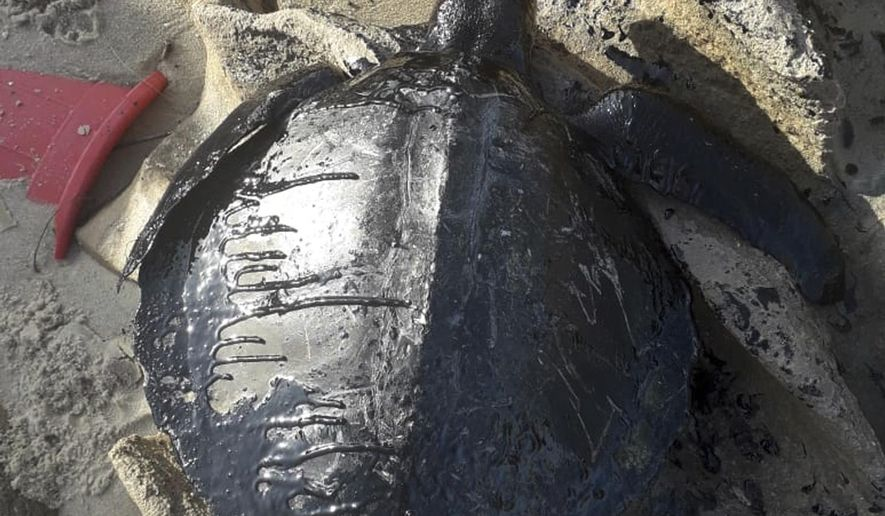 "This Sept. 1, 2019 handout photo released by Instituto Verdeluz, shows the carcass of a turtle covered in oil on Sabiaguaba beach, in Fortaleza, Ceara state, Brazil. Brazil's main environmental agency said Thursday it has detected 105 crude oil spills from an undetermined source polluting the waters of the country's northeast coast this month. ""So far there is no evidence of contamination of fish and crustaceans,"" the institute said, though it said the spills had killed seven sea turtles. (Instituto Verdeluz via Instituto Verdeluz)"