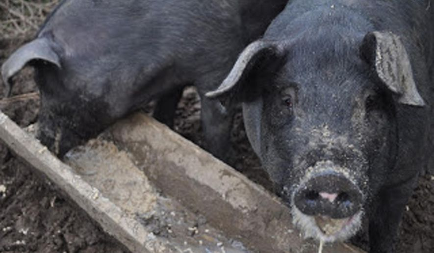 In this 2014 photo provided by Ryan Parker, two pigs consume discarded milk at Nights And Weekends Homestead in Newport, Maine. The state of Maine has recently clarified rules about giving food waste to pig farms. (Photo courtesy Ryan Parker)