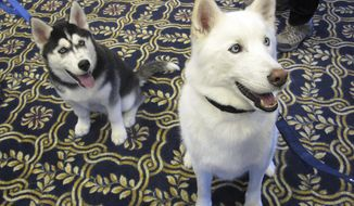 FILE - In this Jan. 29, 2014, file photo, the University of Connecticut's new mascot, Jonathan XIV, left, a Siberian Husky, sits next to his predecessor, Jonathan XIII, after being introduced at a UConn Board of Trustees meeting in Storrs, Conn. A school fraternity is raising funds to take care of Jonathan XIII, after he was stricken by a cluster of seizures and was rushed to a veterinary hospital in Middletown in early October 2019. The 12-year-old all-white Husky served as the school's mascot from 2008-2014. (AP Photo/Pat Eaton-Robb, File)