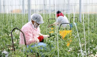 This Sept. 5, 2019 image shows two farmworkers rolling down the rows as they prune young tomato plants near Wilcox, Ariz. As part of the Healthy Farms Program, many workers at greenhouses in the area now take steps to protect themselves from skin cancer, pesticide exposure and other health dangers. (Megan Marples, Cronkite News via AP)