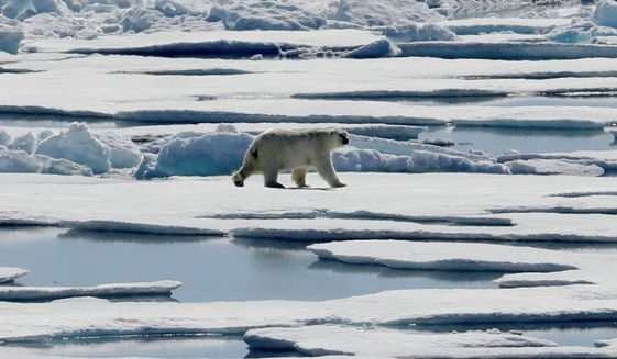 A polar bear walks over sea ice floating in the Victoria Strait in the Canadian Arctic Archipelago. (AP Photo/David Goldman, file)