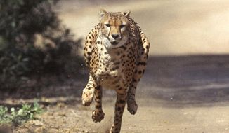 FILE - In this March 19, 2004, file photo, Majani, a 2-year-old male African cheetah, exhibits lighting speed while chasing a mechanical rabbit at the San Diego Zoo's Wild Animal Park as part of the Park's environmental enrichment program. Wild Wonders conservation and education center in Bonsall, Calif., has scheduled a fundraiser on Nov. 2, 2019, to benefit the Cheetah Conservation Fund in Africa, the San Diego Union-Tribune reported Sunday, Oct. 20. (San Diego Zoo's Wild Animal Park via AP, File)