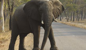 FILE - In this Oct. 1, 2015, file photo, an elephant crosses a road at a national park in Hwange, Zimbabwe. At least 55 elephants have starved to death in the past two months in Zimbabwe's biggest national park as a serious drought forces animals to stray into nearby communities in search of food and water, authorities said Monday Oct. 21, 2019. (AP Photo/Tsvangirayi Mukwazhi, File)
