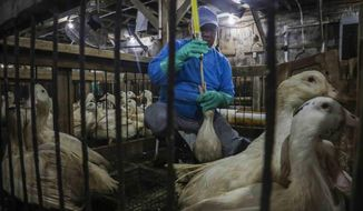 FILE - In this July 18, 2019, file photo, Moulard ducks, a hybrid white farm Peking duck and a South American Muscovy duck, are caged and force-fed at Hudson Valley Foie Gras duck farm in Ferndale, N.Y., to fatten their livers to produce foie gras. A day after the New York City Council voted to ban the sale of foie gras, animal rights activists sued the biggest U.S. distributor of the French delicacy for inhumane treatment of ducks, Thursday, Oct. 31, 2019. (AP Photo/Bebeto Matthews, File)