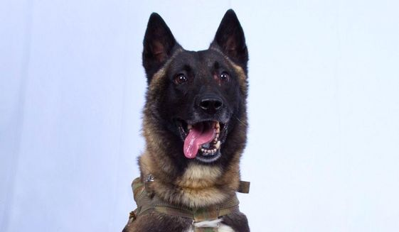 Conan, the combat canine, began training as a pup with the 341st Training Squadron at Lackland Air Force Base in San Antonio, Texas. (Defense Department) ** FILE **