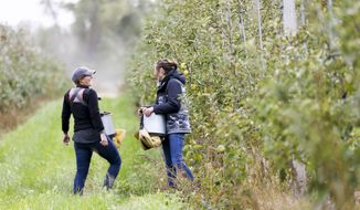 Emma Johnson (left), co-owner, and Anna Hankins (right) laugh as they pick apples at Buffalo Ridge Orchard in Central City, Iowa on Tuesday, Oct. 15, 2019. The orchard has over fifty varieties of apples, which are sold at area markets and served at local colleges and businesses. (Rebecca F. Miller/The Gazette via AP)