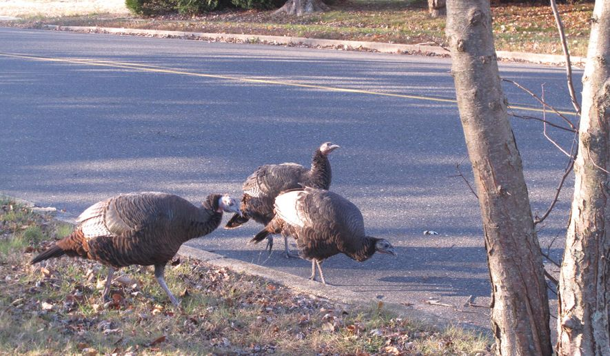 This Nov. 13, 2019 photo shows wild turkeys walking in a roadway in Toms River, N.J. New Jersey wildlife officials plan to trap and relocate some of the large number of turkeys that have established themselves in and around a retirement community. (AP Photo/Wayne Parry)