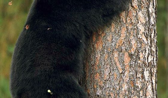 FILE - In this Sept. 24, 2014, file photo, a young black bear climbs down from a tree near Woodland Middle School in Coeur d'Alene, Idaho. Federal authorities say a lawsuit seeking to ban black bear hunting using bait in national forests in Idaho and Wyoming to protect grizzly bears should be dismissed. The U.S. Forest Service and U.S. Fish and Wildlife Service in documents filed Friday, Nov. 15, 2019, say the decision to allow using bait to attract bears should continue to be made by the state in which the national forest is located. (Tess Freeman/Coeur d'Alene Press via AP, File)