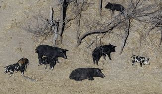 """FILE - In this Feb. 18, 2009 file photo, feral pigs roam near a Mertzon, Texas ranch. State and federal officials in Montana are marshaling their resources to keep encroaching feral pigs from Canada at bay. Aerial photographs from last year show the population boom in Canada has brought the feral swine within five miles of the U.S. border, prompting Montana to organize a campaign it's calling """"Squeal on Pigs"""" to prevent an invasion of feral swine that would destroy crops and even golf course and landscaping. (AP Photo/Eric Gay, File)"""